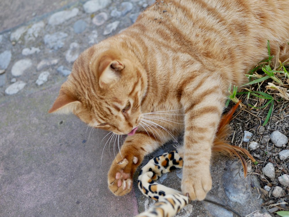 Arthur Cat play with lion tail toy