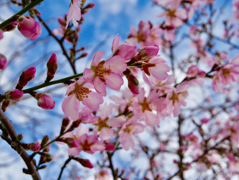 Pink blossom on almond tree