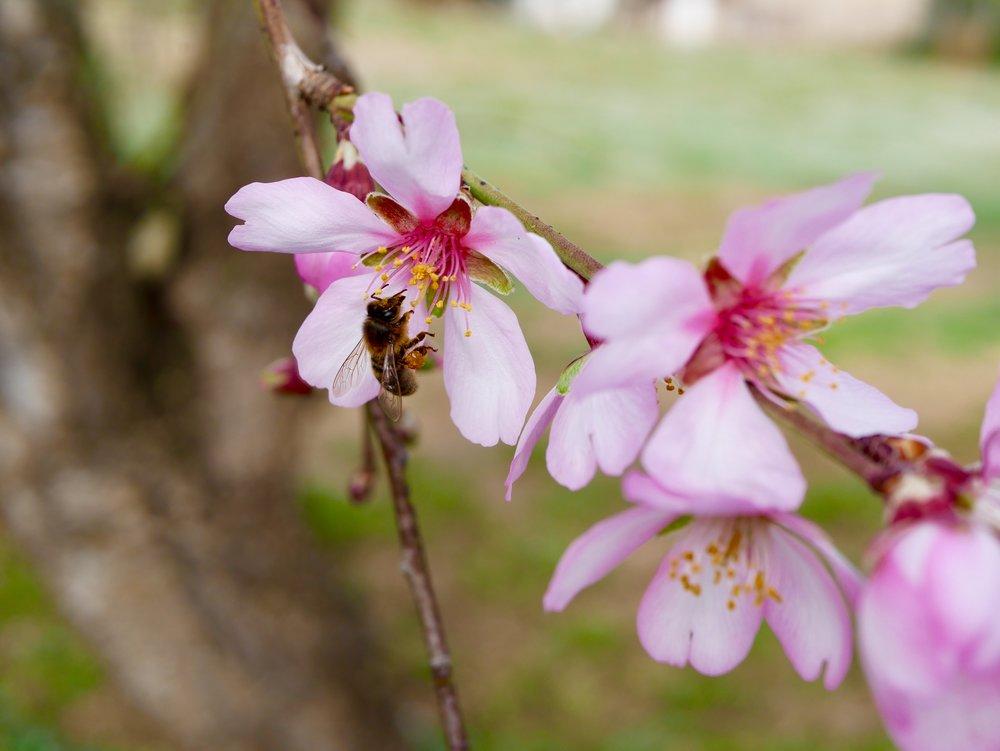 bee on blossom
