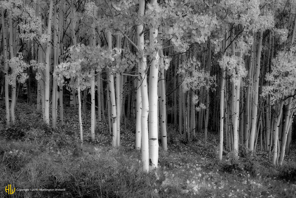 Aspens, Boulder Mountain, UT, 2005