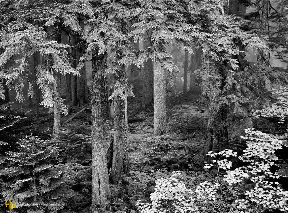 Forest In Fog, Mt. Rainier National Park, WA, 1981