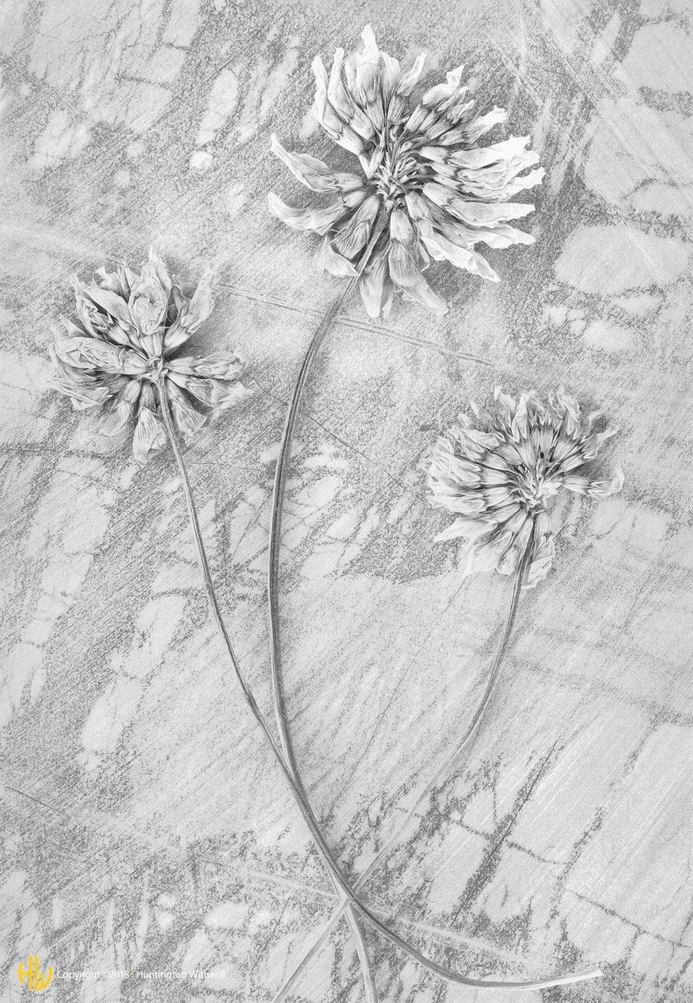 Trifolium Pratense, 1990