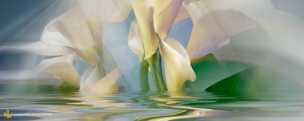 Calla Lilies #27, 2004