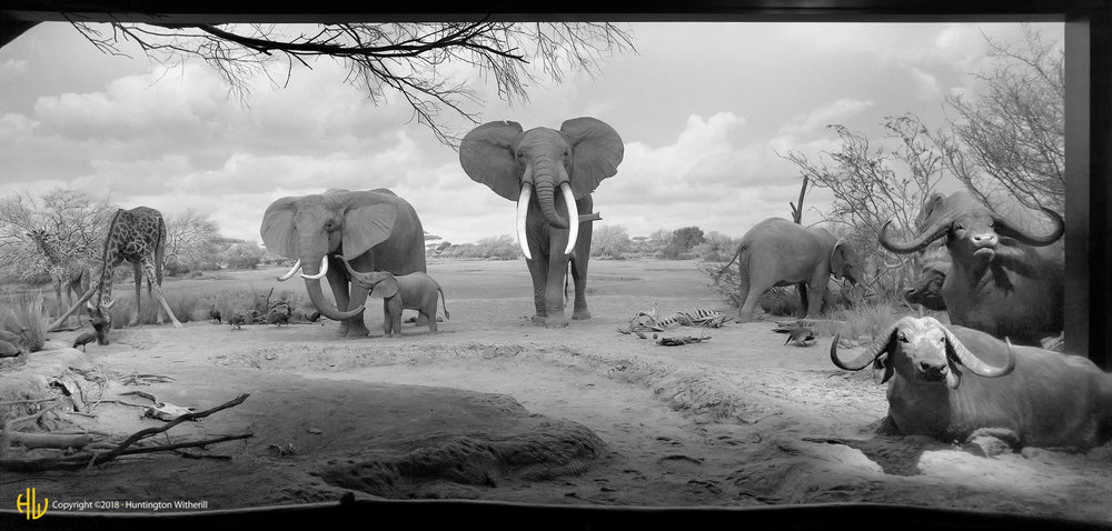 Elephants, Giraffe and Water Buffalo, LACMNH, 2008