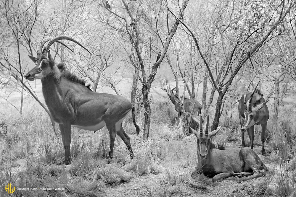 Sable Antelope, LACMNH, 2008