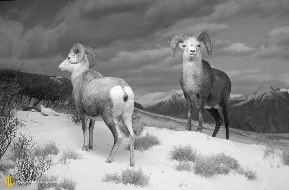 Stone's Sheep, LACMNH, 2008
