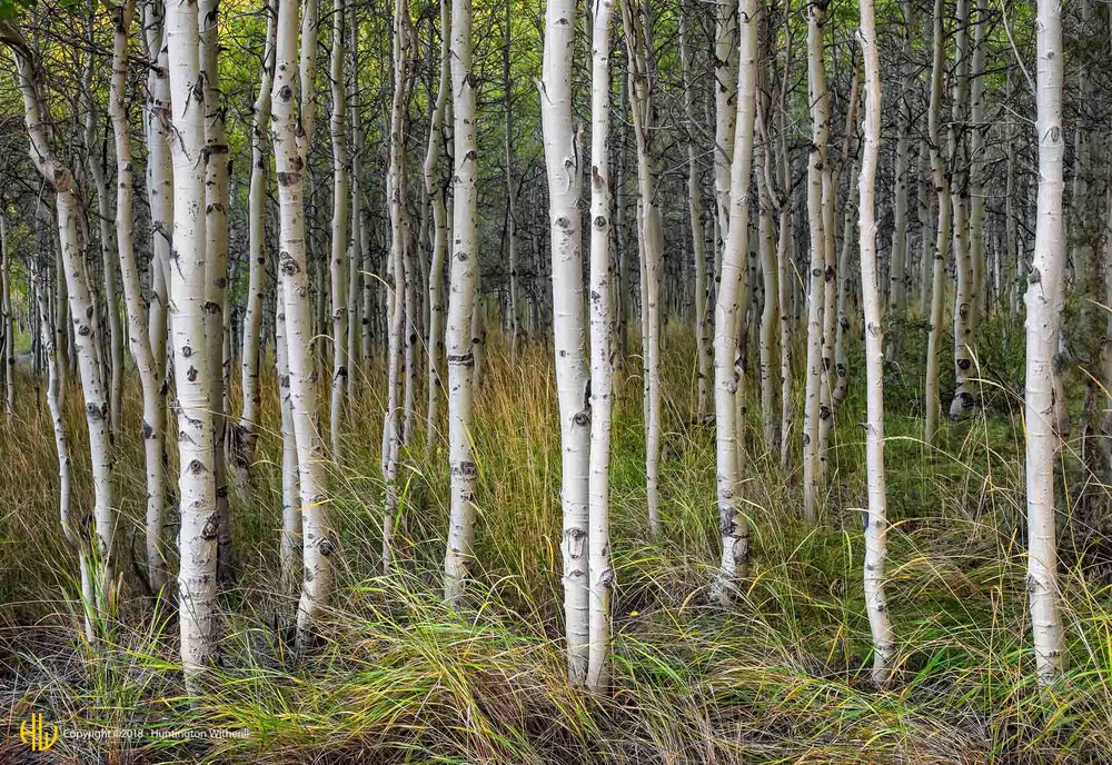 Aspens, Lundy Canyon, CA, 2014 (c)