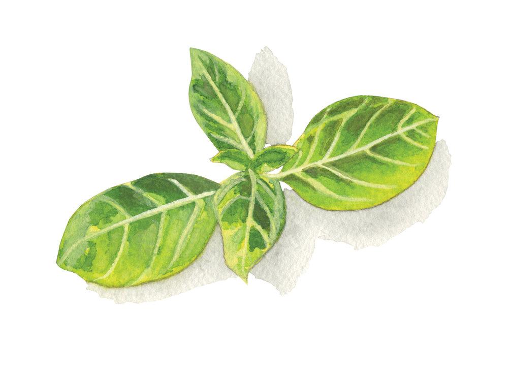 Basil | Culinary Herbs