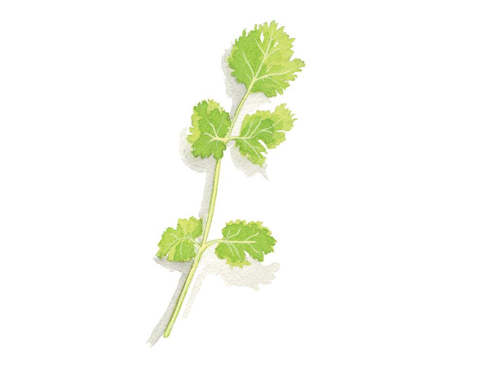 Cilantro | Culinary Herbs