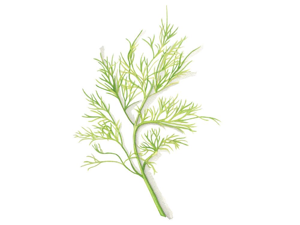 Dill | Culinary Herbs