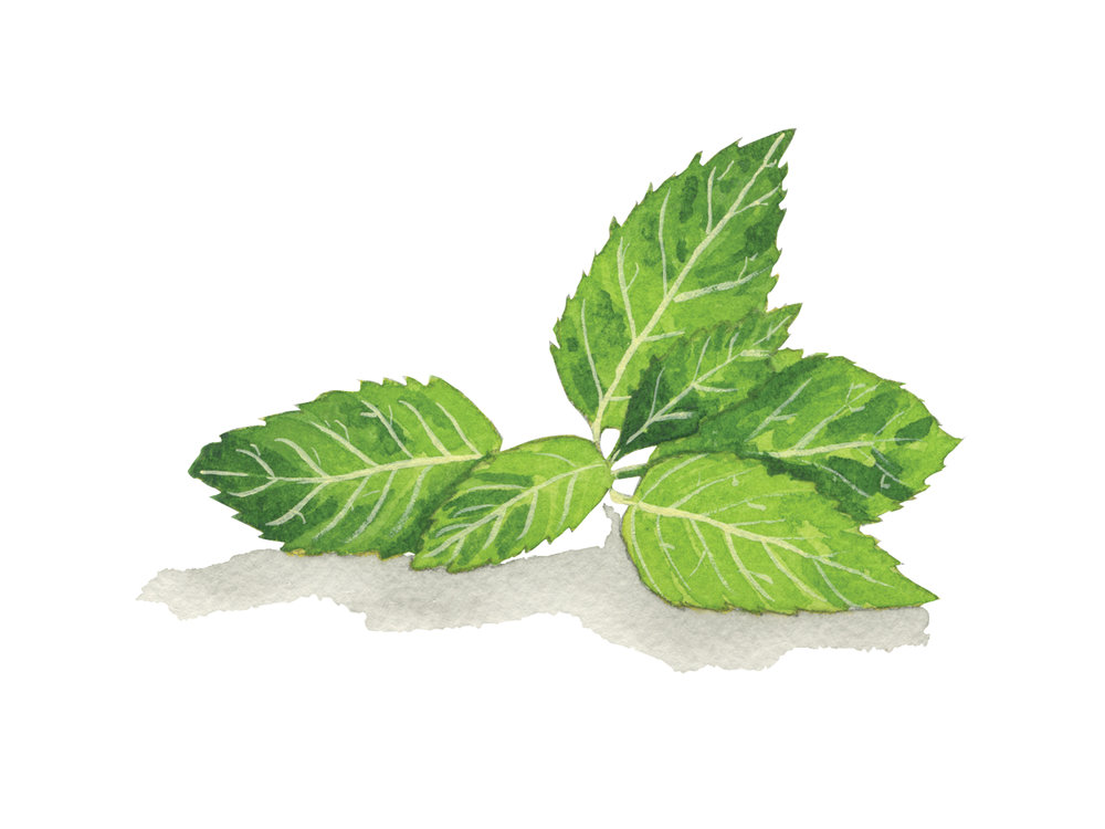 Mint | Culinary Herbs