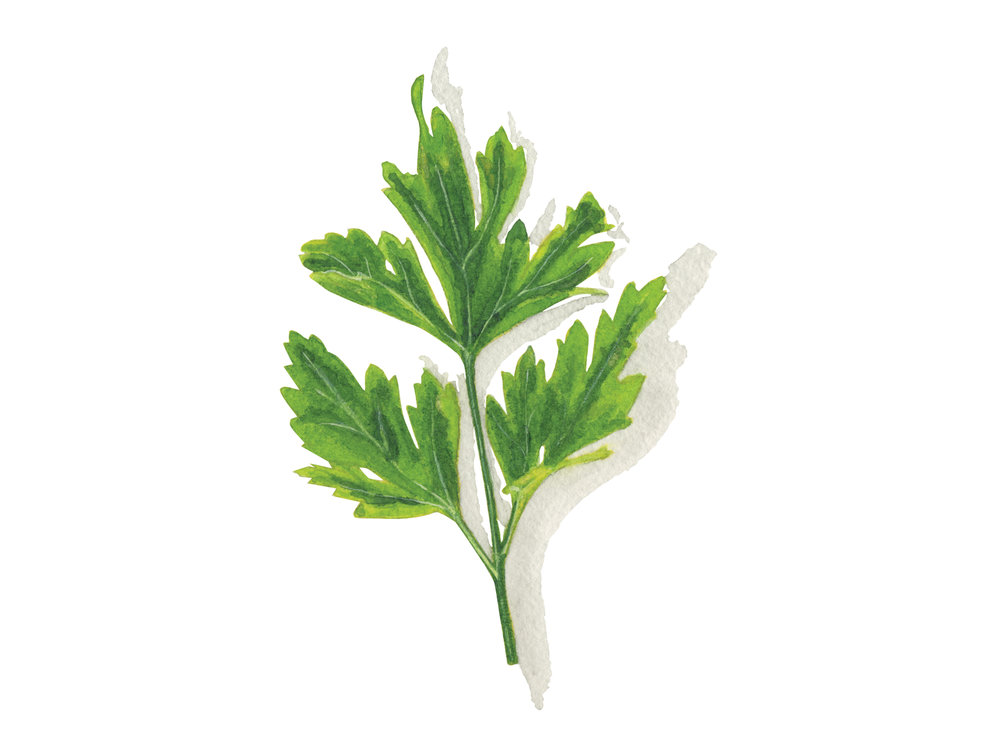 Italian Flat Parsley | Culinary Herbs