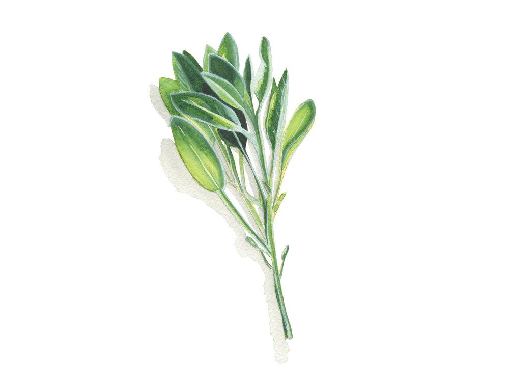 Sage | Culinary Herbs