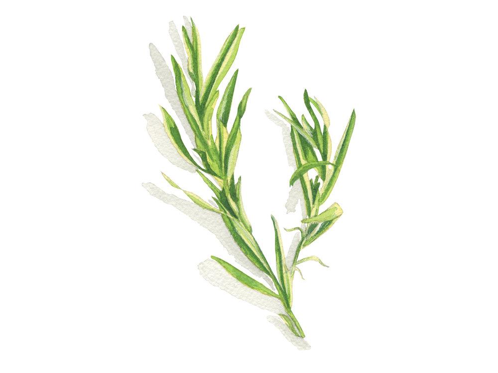 Tarragon | Culinary Herbs
