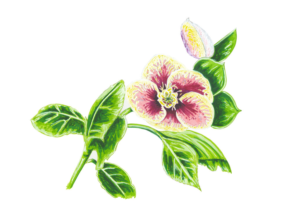 hellebore_website.jpg