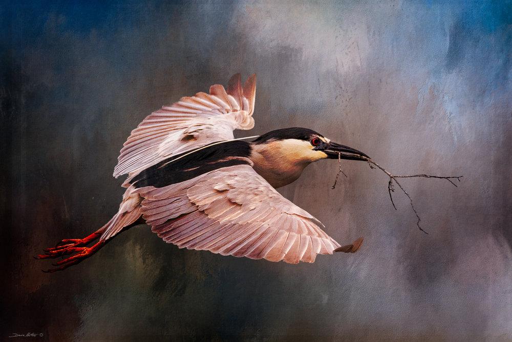 """Night Heron"""