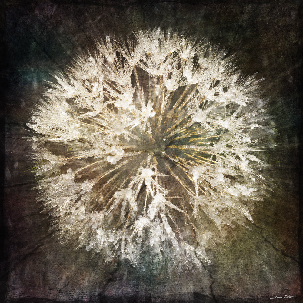 """Frosted Dandelion"""