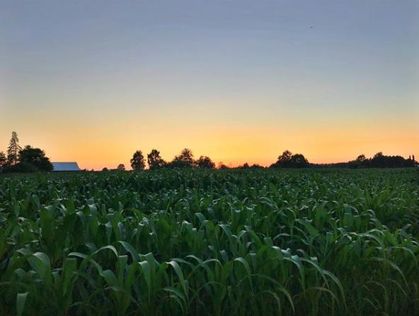 Ragnar corn field sunset.png