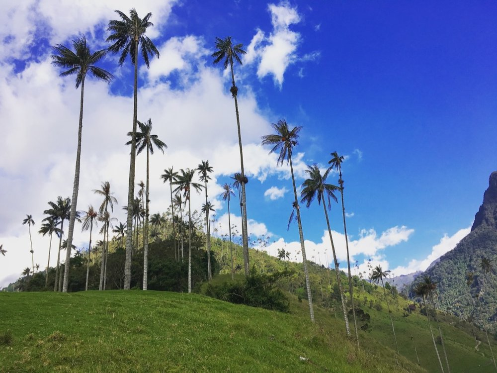 Tallest palm trees in the world? ✔️  #waxpalms   #salento   #cocoravalley   #colombia   #dayhike   #yearoftravel   #solofemaletravel   #travelblog   #pathunwritten