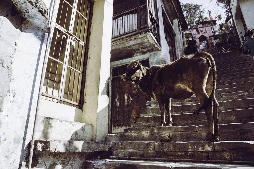 Cow_DevPrayag.jpg