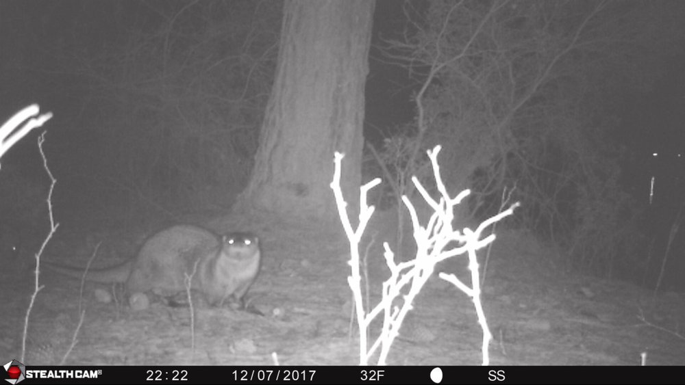 River Otter (Lontra canadensis) at Bush Mill Stream NAP taken by a game camera