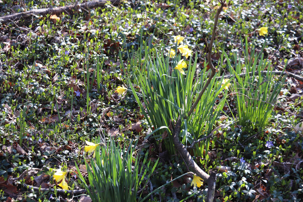 Daffodils in a bed of vinca