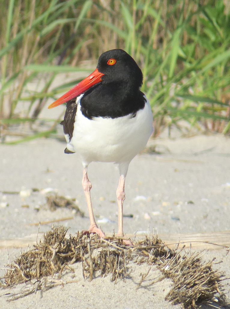 oystercatcher by Betsy Washington ***WINNER***