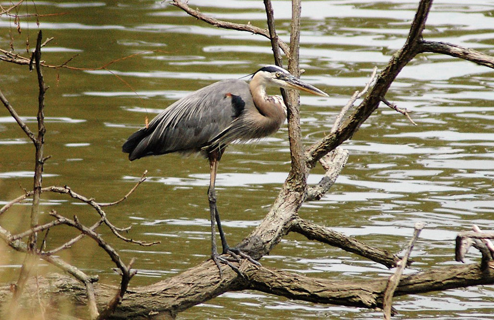 blue heron by John Narney ***RUNNERUP***