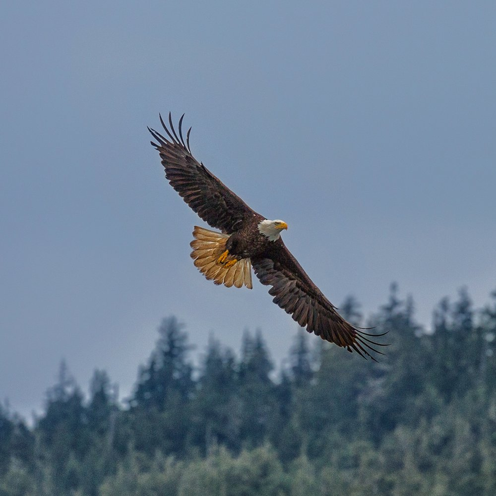 eagle in flight.jpg