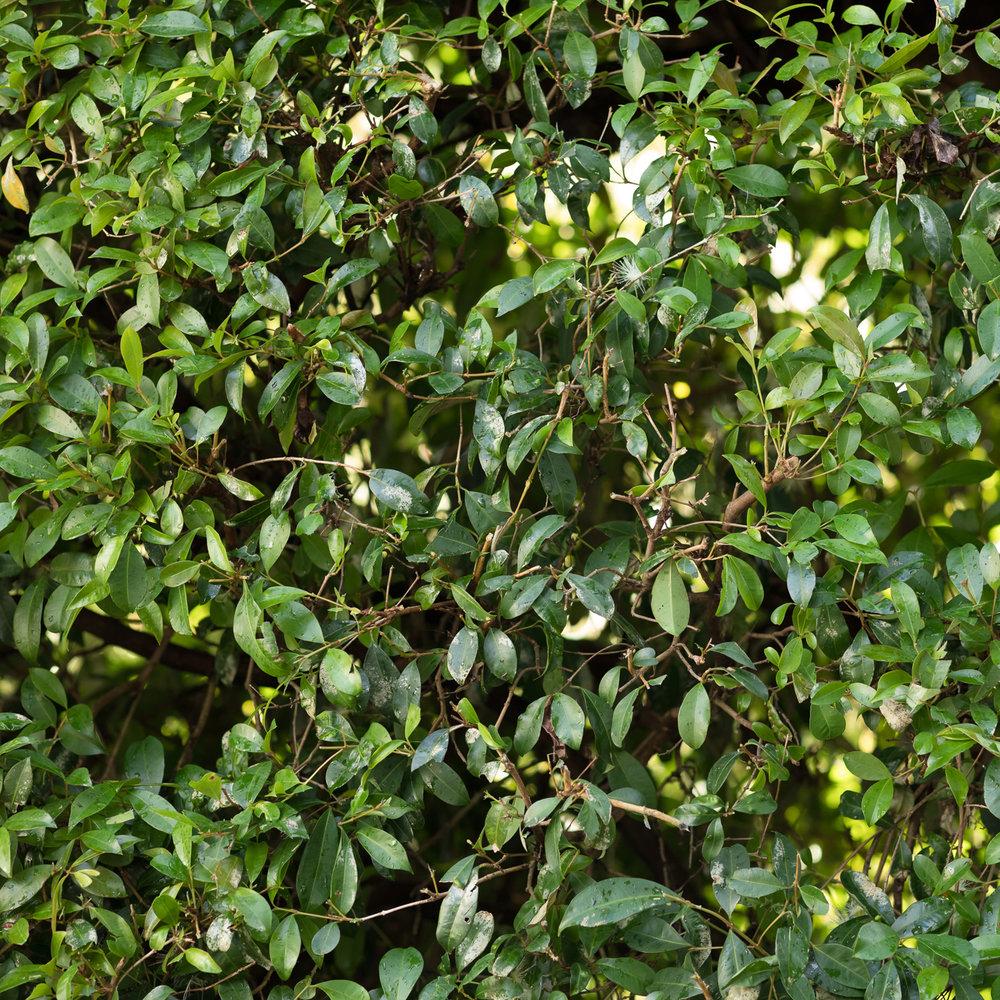 Tree-Fellas-Hedge-Trimming.jpg