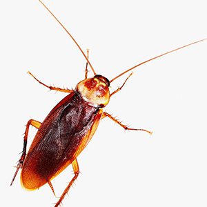 ROACHES - These tough, fast-breeding insects can spread numerous diseases such as E. coli, plague and should be treated by pest control professionals.