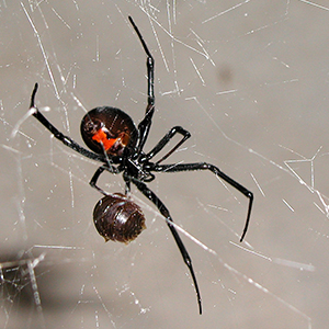 SPIDERS - We'll take care of aggressive and deadly black widow spiders, daddy long legs, and all your other common house and yard spiders, plus remove webs.