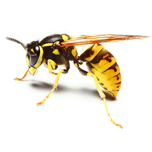 WASPS - Yellow jackets can be deadly, stinging a victim multiple times or attacking as a group. Don't attempt to remove wasp nests yourself – rely on us to get the job done right.