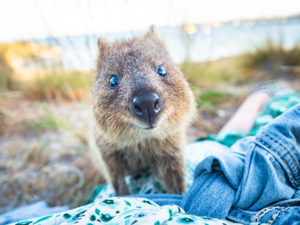 Meeting a Quokka has literally been on the top of my bucket list since 2011, and last year I was so happy I got to share the experience with my good friend and work colleague  Garry Norris . So whilst this definitely isn't my technically best shot from Rottnest Island,  Western Australia (one of only two places in the world to see the happiest little animal roaming wild & free) it is my favourite, because just look at that face! He wanted to climb on me and although you are not allowed to touch them at all, which of course I didn't, what could I do when the little cutie touched me!? Except die of heart burst of course!