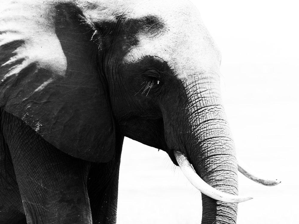 Elephant, Bumi Hills, 2018