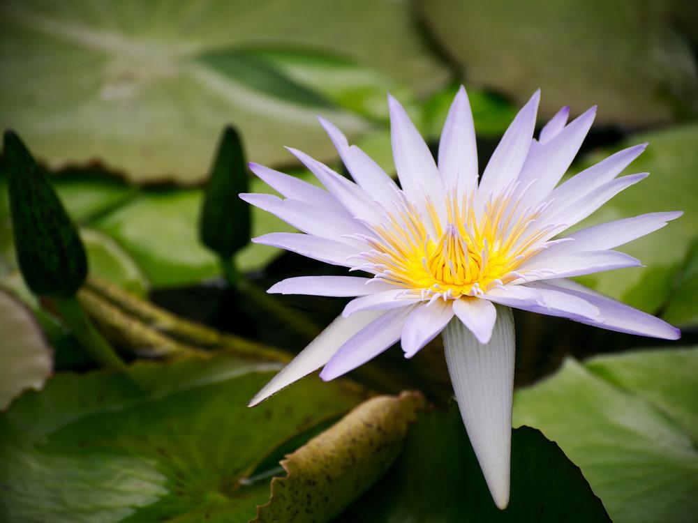 Water lily, Latour Marliac Jardin des Nenuphars, France