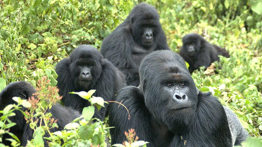 mountain-gorilla-family.jpg