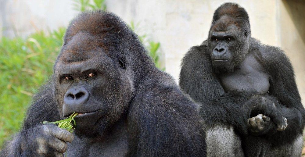 gorilla shabani.jpg