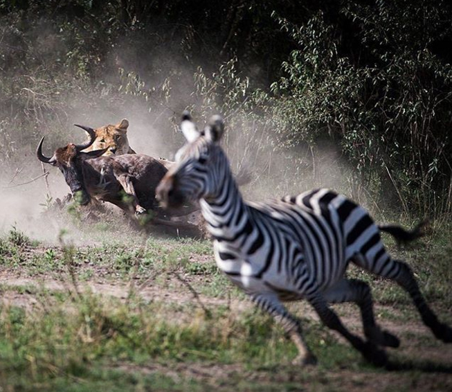 We love this photo as it shows the fine balance of life and death in the wild. We all can see the buffalo's fate as the lion watches the zebra that got away... this time.