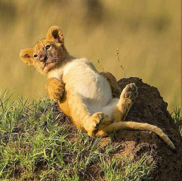 This cub is adorable! We'd love to tickle his/her belly although it would probably be safer not to try, especially if the parents are about! @burakdogansoysal has a great Instagram feed with loads of fantastic animal photos, you should check it out.