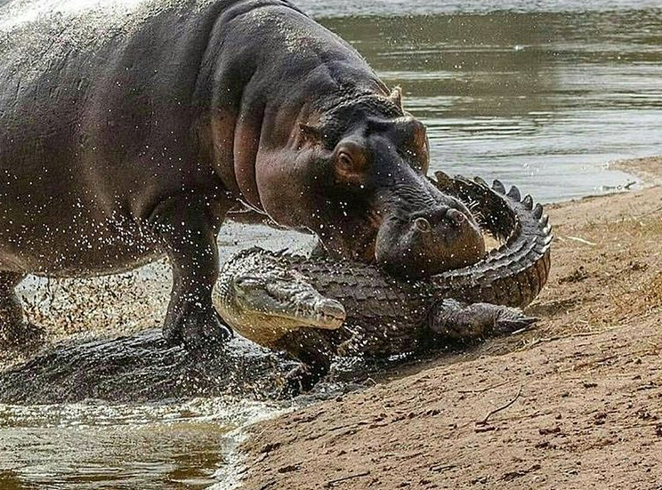 This is one of the most popular photos from our @african.inspired Instagram and let's face it, you can see why! It's not too often you see a crocodile on the receiving end of an attack, but it's great to see!  Did you know hippos are notoriously aggressive and kill more people per year than lions? Now you do :)