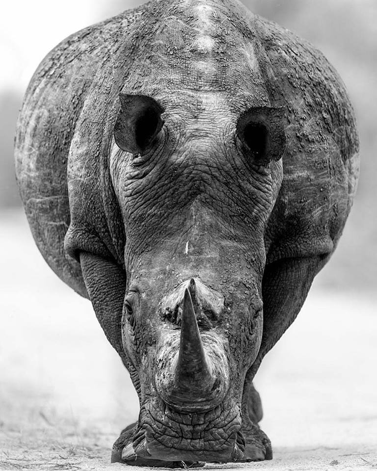 Such power and grace in this photo.  We love how the photo shows the rhino to be huge whilst also conveying calm. The textures are brilliant too.