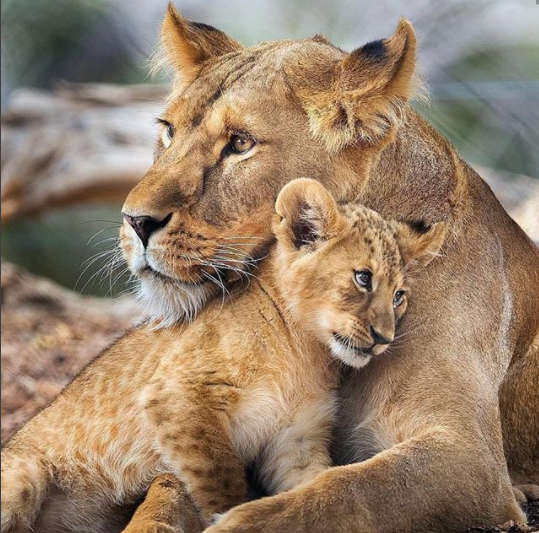 We shared this beautiful image for Mother's Day. The lioness' cub looks safe with it's mother, and so it should!