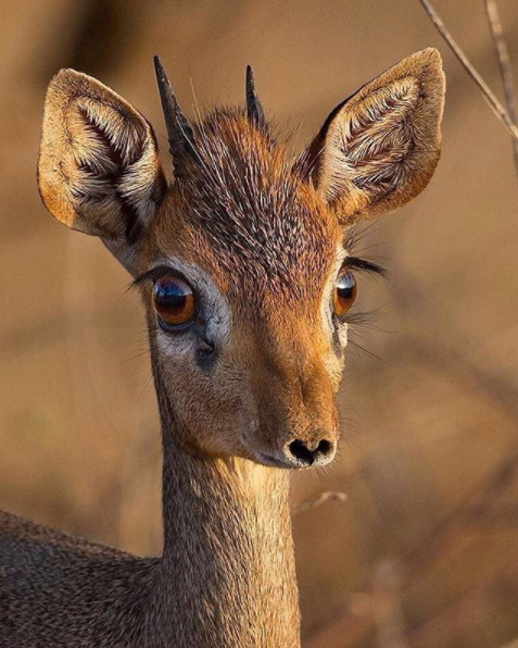 Meet The Dik-Dik, native to areas of Africa. These relatively small animals have the ability to live for up to a decade, get to speeds above 25 Miles Per Hour, and are named after the whistling-like call they give off from their noses when feeling threatened.