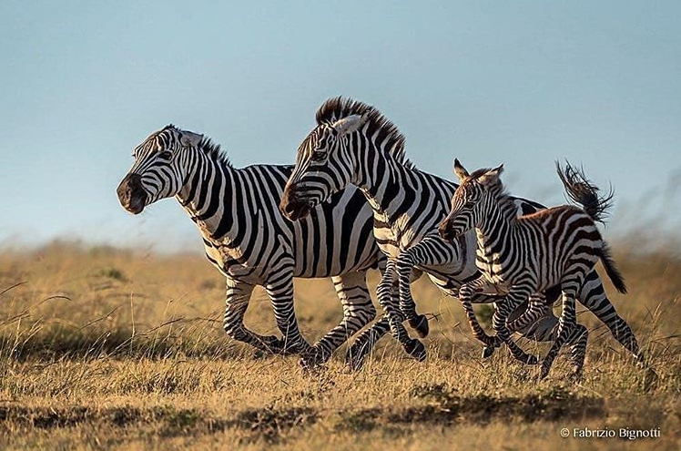Zebras are very fast-moving animals, and can reach speeds of up to 65kmph when galloping across the plains. This is just fast enough to outpace predators such as lions. Foals can run with the herd within a few hours of birth.