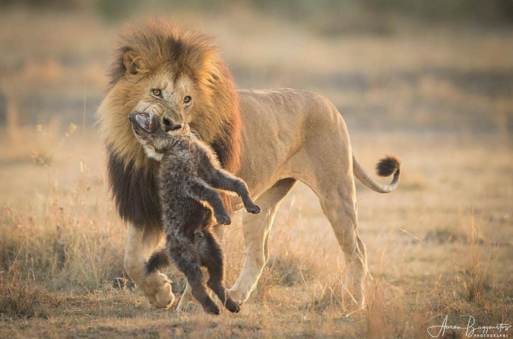 As an African lion stood over its kill, a clan of daring hyenas slowly made their way in enveloping the two. After some moments passed, this hungry lion made an example of a young hyena that made its way to close, warning the others to turn away.