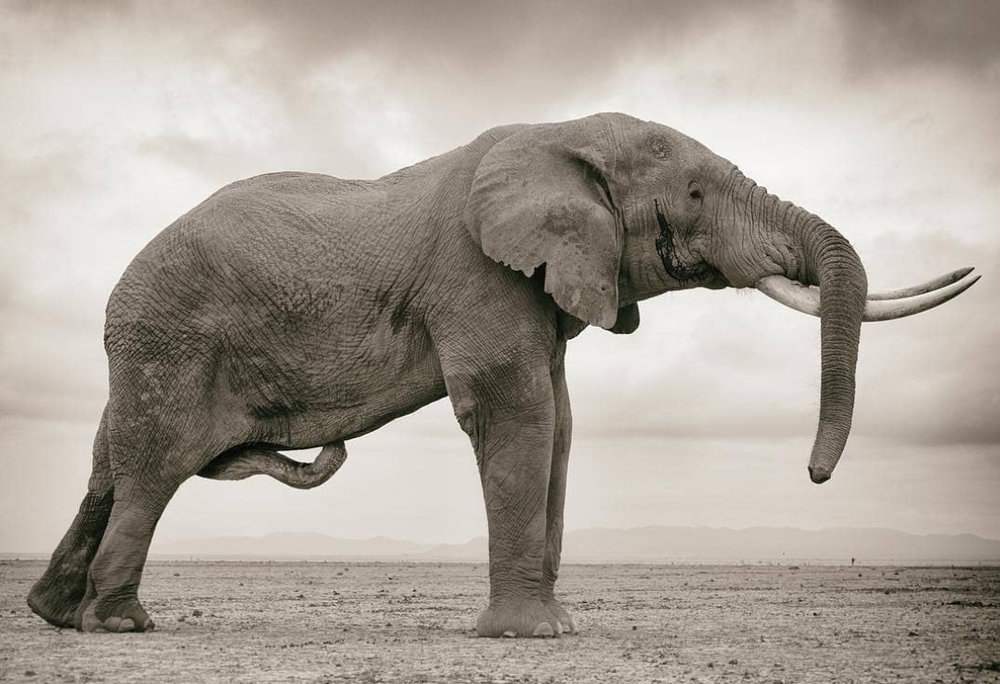 An impressive bull elephant in more ways than one!  If you love elephants you need to check out  Mark Drury , he has an incredible portfolio of work featuring the world's largest land mammal.