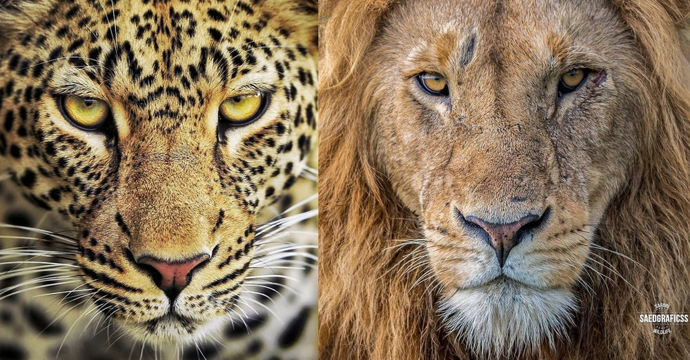 We love both the profile shots of these cats and we the cat's themselves, but when asked which big cat is our favourite we often can't decide!  Which is your favourite? Let us know in the comments below!   Team Leopard  or  Team Lion ?