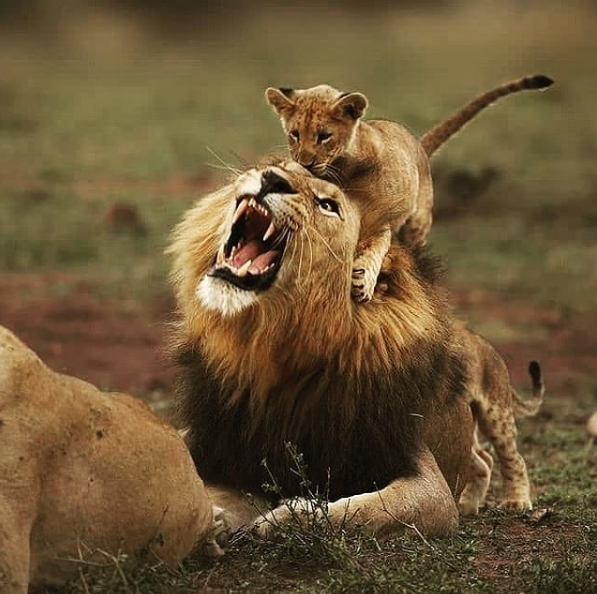 A lion cub jumping on their unsuspecting father. This makes great practice for when the cubs grow and have to hunt for themselves.