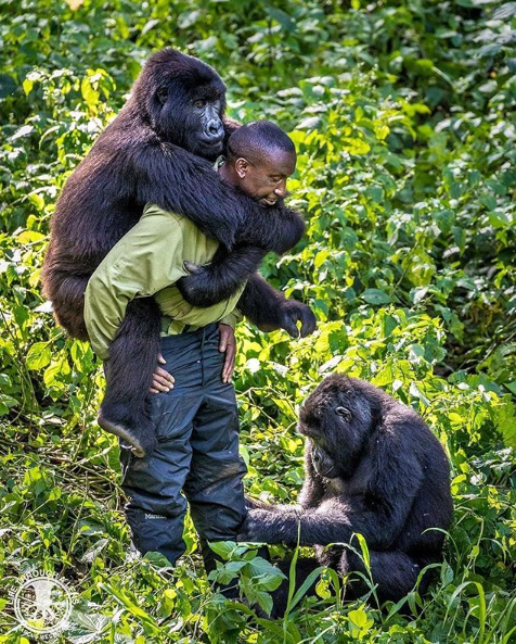 """André Bauma rescued Ndakasi when she was still an infant. Her mother had just been murdered, and without André, the other Virunga NP rangers, and veterinarians from Gorilla Doctors she would have died within days, if not hours. Ten years later, to her, André is both mother and father, and when one of the other mountain gorillas at Senkwekwe - there are three other orphans being cared for here - wants his attention, she can get a bit jealous. Although she now weighs over 70kgs, she loves being close to him, and climbs onto his back for a piggyback ride every chance she gets. ""I'm getting too old for this,"" an exhausted and sweaty André told me after half an hour of rough play with Ndakasi and Ndeze (who also wanted her share of André's attention), his shirt torn. ""But I will always be here. They are my children."" He's a great man, André, and spending time with him was a real privilege."" - Marcus Westberg"